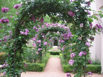 <p>This garden is planted up with Rhapsody in Blue Rose over the arches</p>