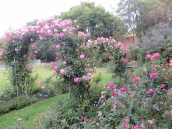 <p>Blossom Magic Roses</p>
