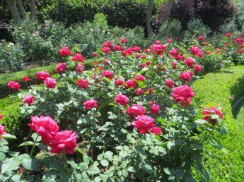 <p>Alecs Red Roses</p>