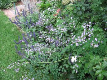 <p>Thalictrum is a beauitful fairy like plant.</p>