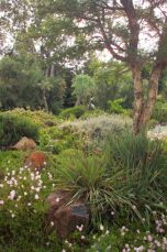 <p>Acacia on a raised area</p>