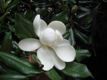 <p>Magnolia Grandiflora</p>
