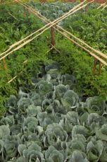 <p>Cabbages</p>